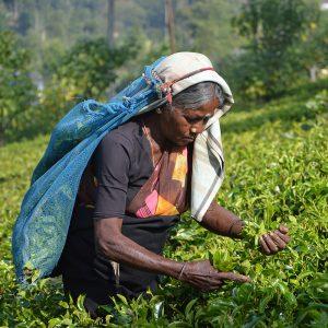 Sri Lanka tea plantation ella kandy